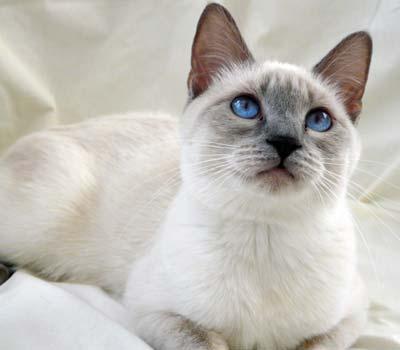 بالصور قطط سيامو , اجمل قطط سيامو بالعالم 2824 1