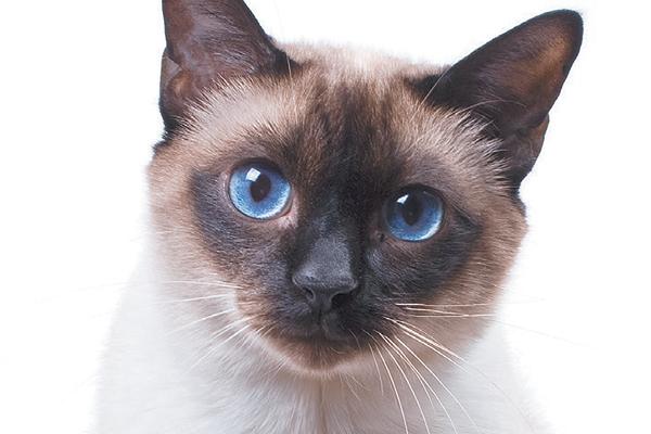 بالصور قطط سيامو , اجمل قطط سيامو بالعالم 2824 10