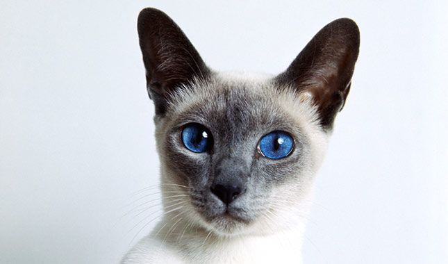بالصور قطط سيامو , اجمل قطط سيامو بالعالم 2824 11