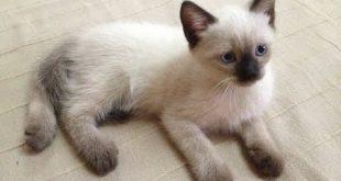 صورة قطط سيامو , اجمل قطط سيامو بالعالم