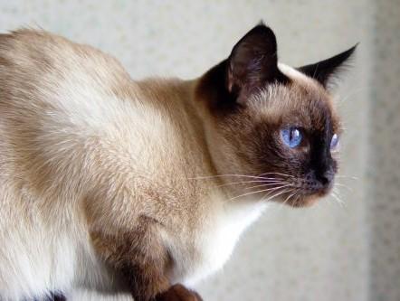 بالصور قطط سيامو , اجمل قطط سيامو بالعالم 2824 2