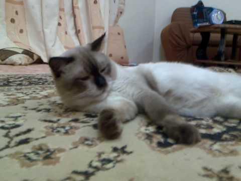 بالصور قطط سيامو , اجمل قطط سيامو بالعالم 2824 3