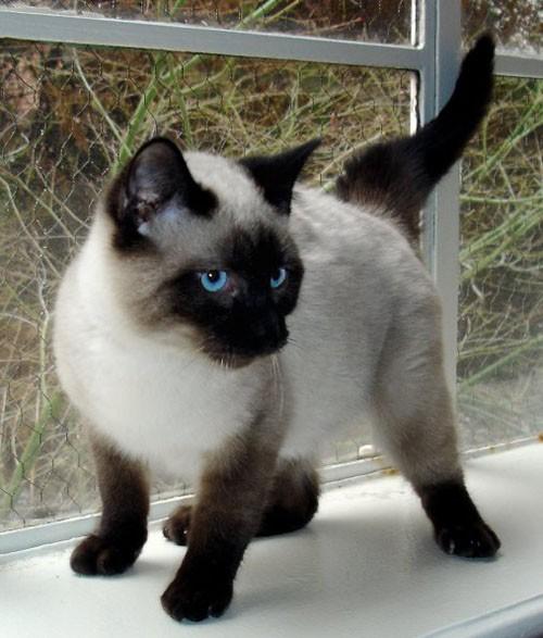 بالصور قطط سيامو , اجمل قطط سيامو بالعالم 2824 4