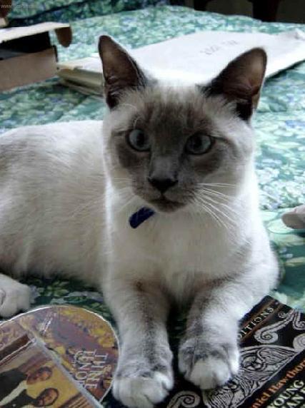 بالصور قطط سيامو , اجمل قطط سيامو بالعالم 2824 5