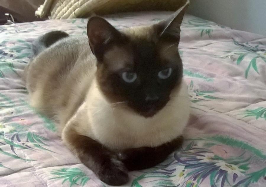 بالصور قطط سيامو , اجمل قطط سيامو بالعالم 2824 6