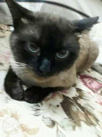بالصور قطط سيامو , اجمل قطط سيامو بالعالم 2824 7