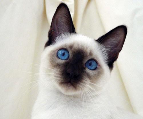 بالصور قطط سيامو , اجمل قطط سيامو بالعالم 2824 8