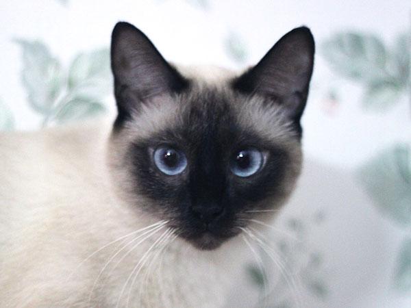 بالصور قطط سيامو , اجمل قطط سيامو بالعالم 2824 9
