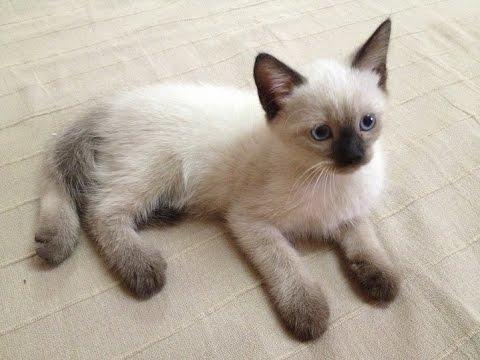 بالصور قطط سيامو , اجمل قطط سيامو بالعالم 2824