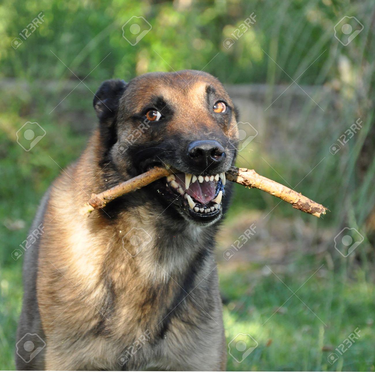 بالصور اشرس انواع الكلاب , كلاب خطر التعامل معها 2858 10