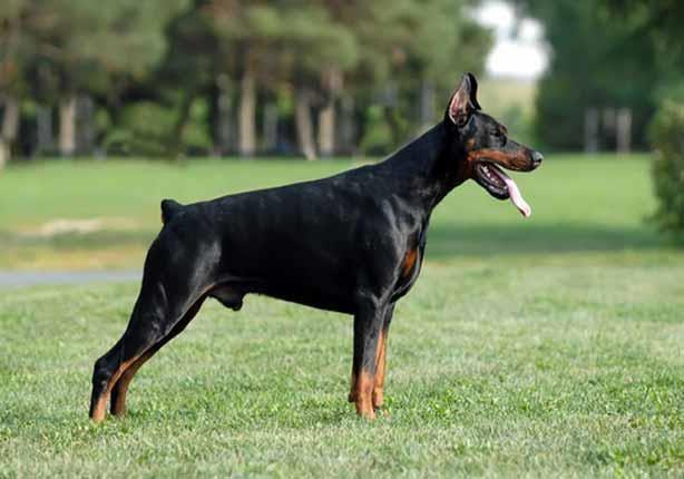 بالصور اشرس انواع الكلاب , كلاب خطر التعامل معها 2858 12