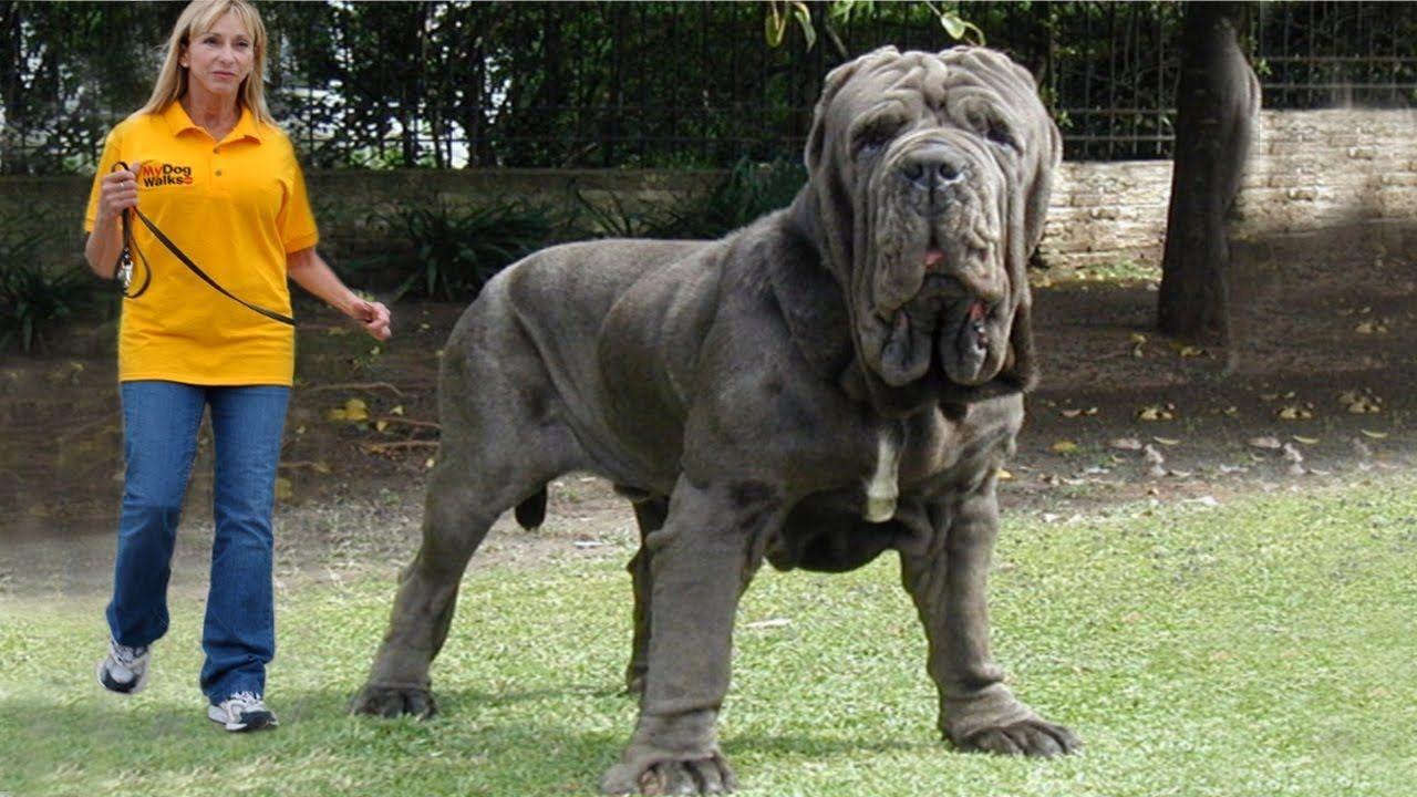 بالصور اشرس انواع الكلاب , كلاب خطر التعامل معها 2858 3
