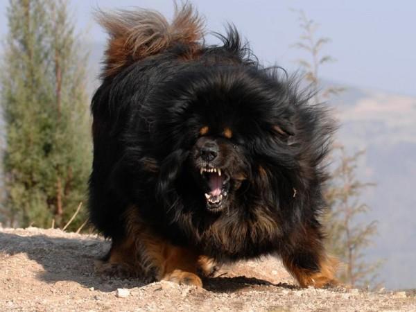 بالصور اشرس انواع الكلاب , كلاب خطر التعامل معها 2858 5