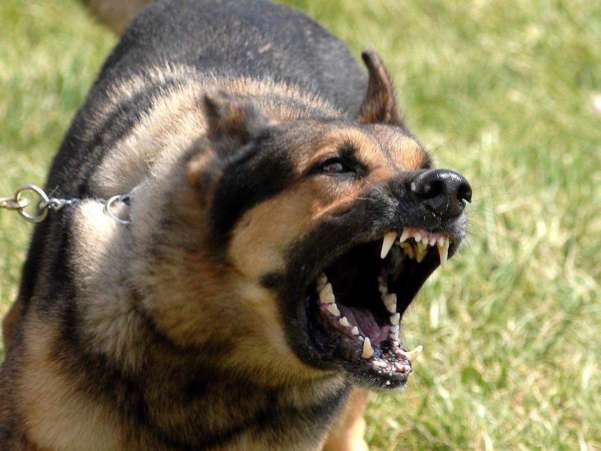 بالصور اشرس انواع الكلاب , كلاب خطر التعامل معها 2858 8