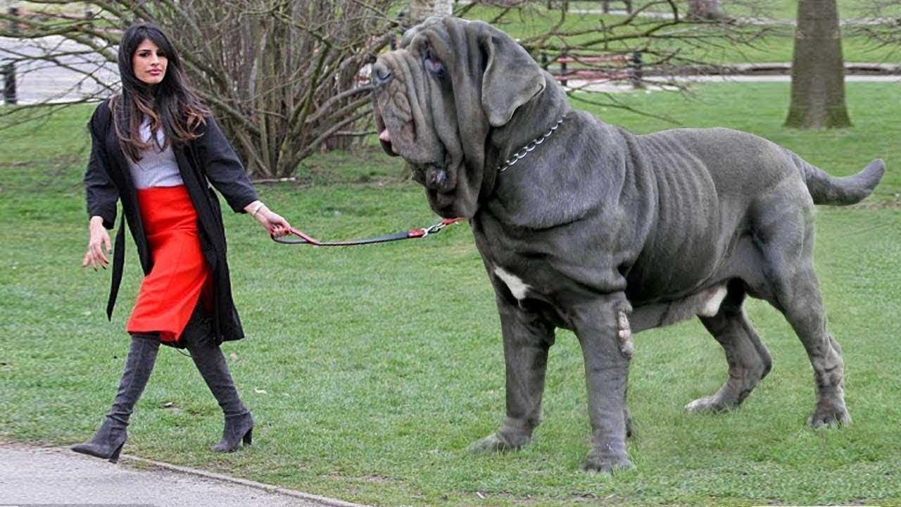 صوره اشرس انواع الكلاب , كلاب خطر التعامل معها
