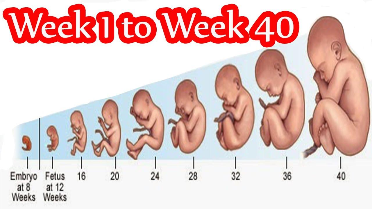 بالصور حاسبة الحمل والولادة , كم بقى على قدوم طفلى المنتظر 2917