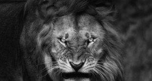 صوره خلفيات اسود , خلفيه بصور ملك الغابه