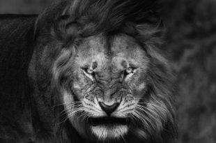 بالصور خلفيات اسود , خلفيه بصور ملك الغابه 2969 12 310x205