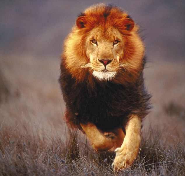 بالصور خلفيات اسود , خلفيه بصور ملك الغابه 2969 3