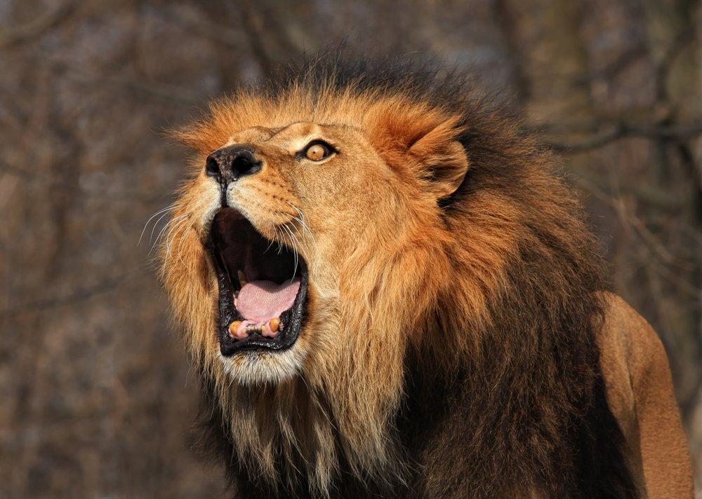 بالصور خلفيات اسود , خلفيه بصور ملك الغابه 2969 4