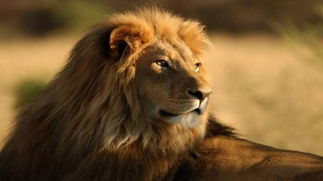 بالصور خلفيات اسود , خلفيه بصور ملك الغابه 2969 9