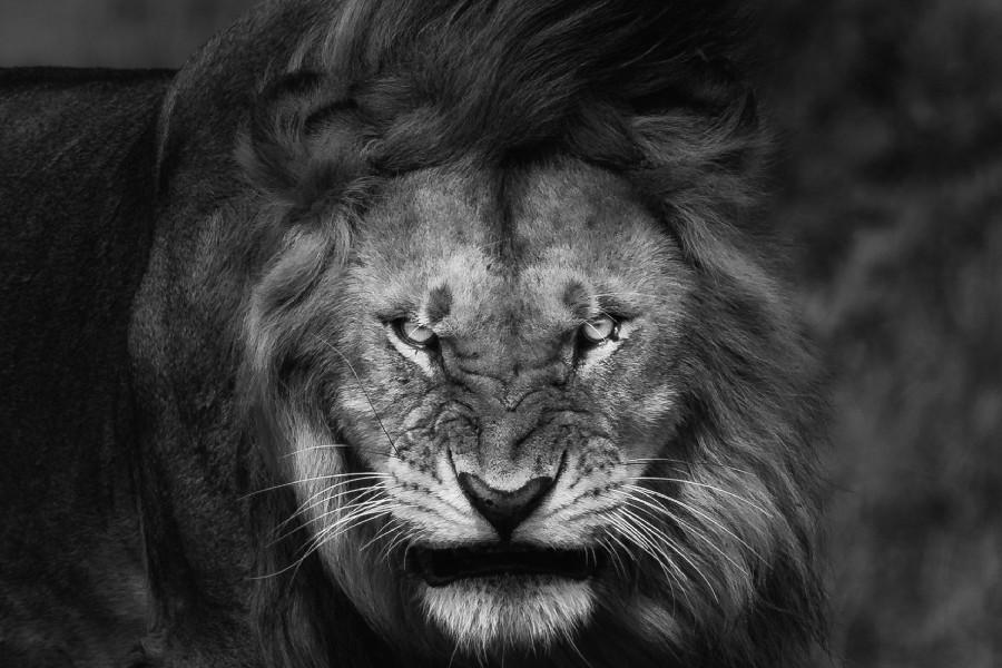 صور خلفيات اسود , خلفيه بصور ملك الغابه