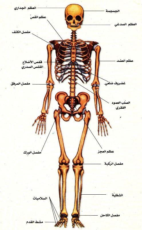 بالصور صور جسم الانسان , صور مختلفة لجسم الانسان 3313 1