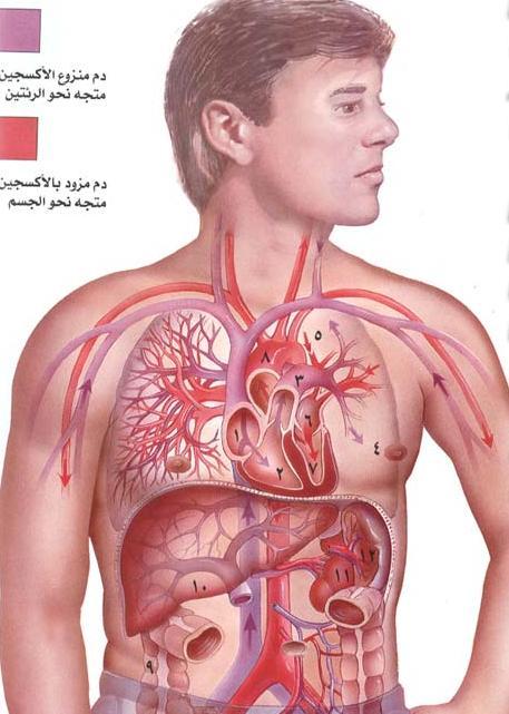 بالصور صور جسم الانسان , صور مختلفة لجسم الانسان 3313 8