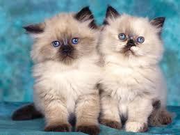 بالصور اجمل صور قطط , اذا كنت من محبي القطط سينال هذا الموضوع اعجابك حتما ! 3348 3