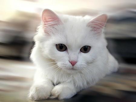 بالصور اجمل صور قطط , اذا كنت من محبي القطط سينال هذا الموضوع اعجابك حتما ! 3348 7
