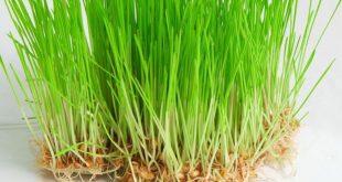 صورة عشبة القمح , لن تصدق فوائد عشبة القمح