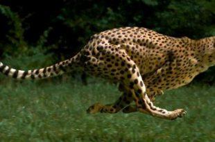 صور ماهو اسرع حيوان في العالم , اسرع حيوان في العالم