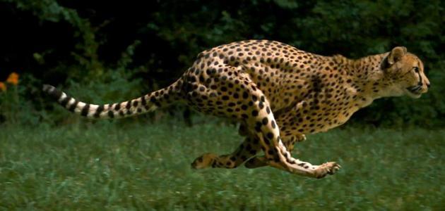 صورة ماهو اسرع حيوان في العالم , اسرع حيوان في العالم