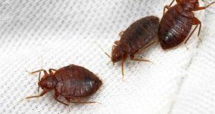 صورة القضاء على البق , تعرف على اكثر الحشرات ازعاج
